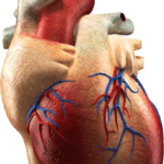 Picture Human Heart PNG