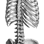 Anatomia Costela PNG
