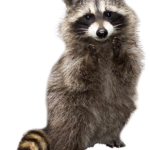 Clipart Raccoon PNG