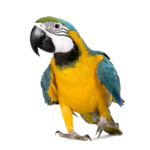 Foto Macaw PNG