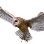 Image Owl PNG