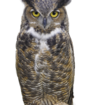 Picture Owl PNG
