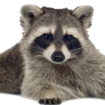 Picture Raccoon PNG