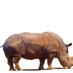 Clipart Rhinoceros PNG