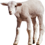 Little Sheep PNG