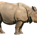 Picture Rhinoceros PNG