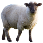 Picture Sheep PNG